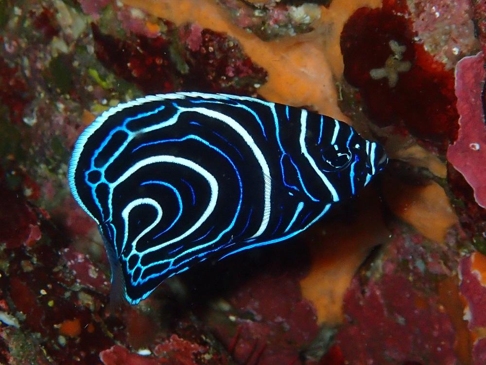 どんどん模様が変化するタテジマキンチャクダイ幼魚