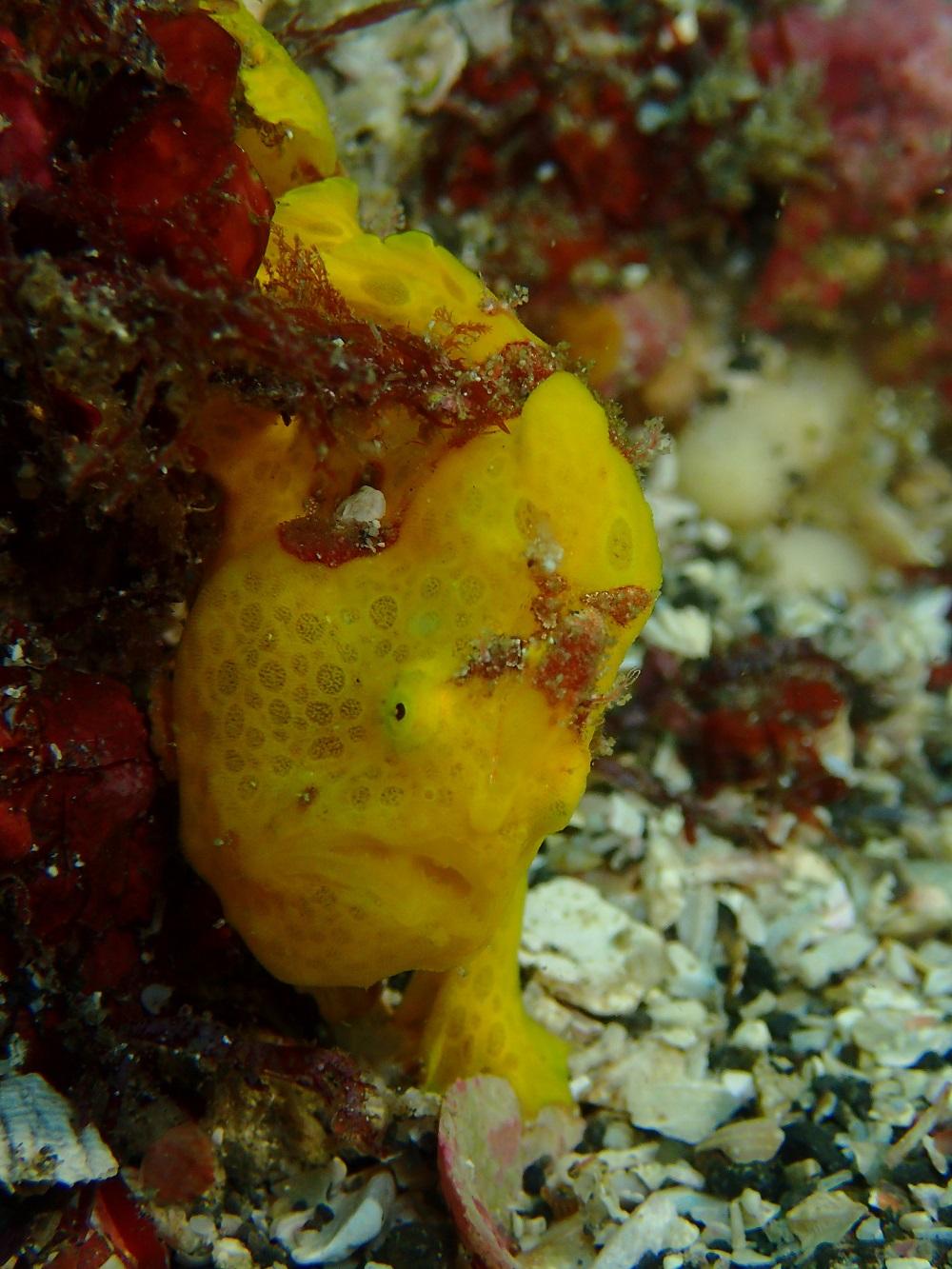 秋から初冬のシーズンアイドル、イロカエルアンコウ幼魚