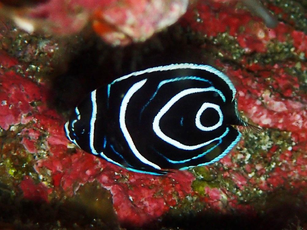 タテジマキンチャクダイ幼魚、只今成長中