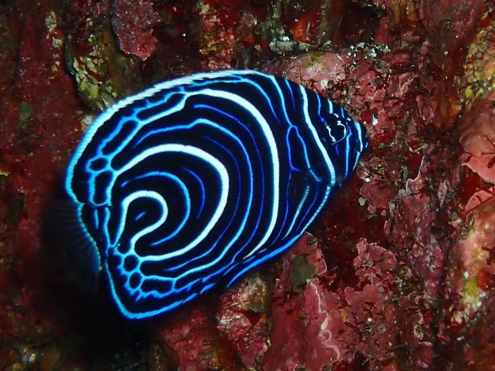 色鮮やか、タテジマキンチャクダイ幼魚