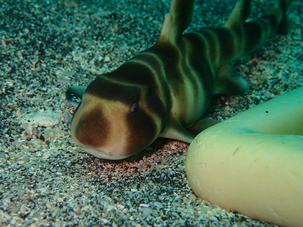砂地にてネコザメ幼魚