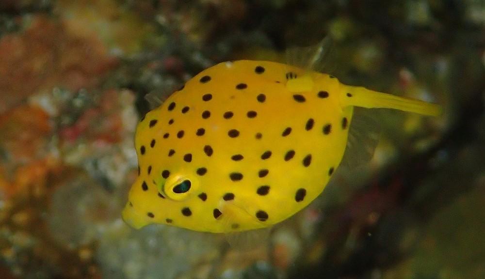 ミナミハコフグ幼魚NO..1