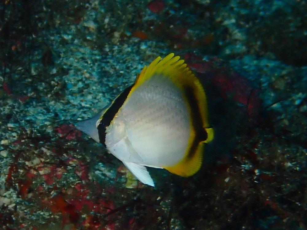 テングチョウチョウウオ幼魚
