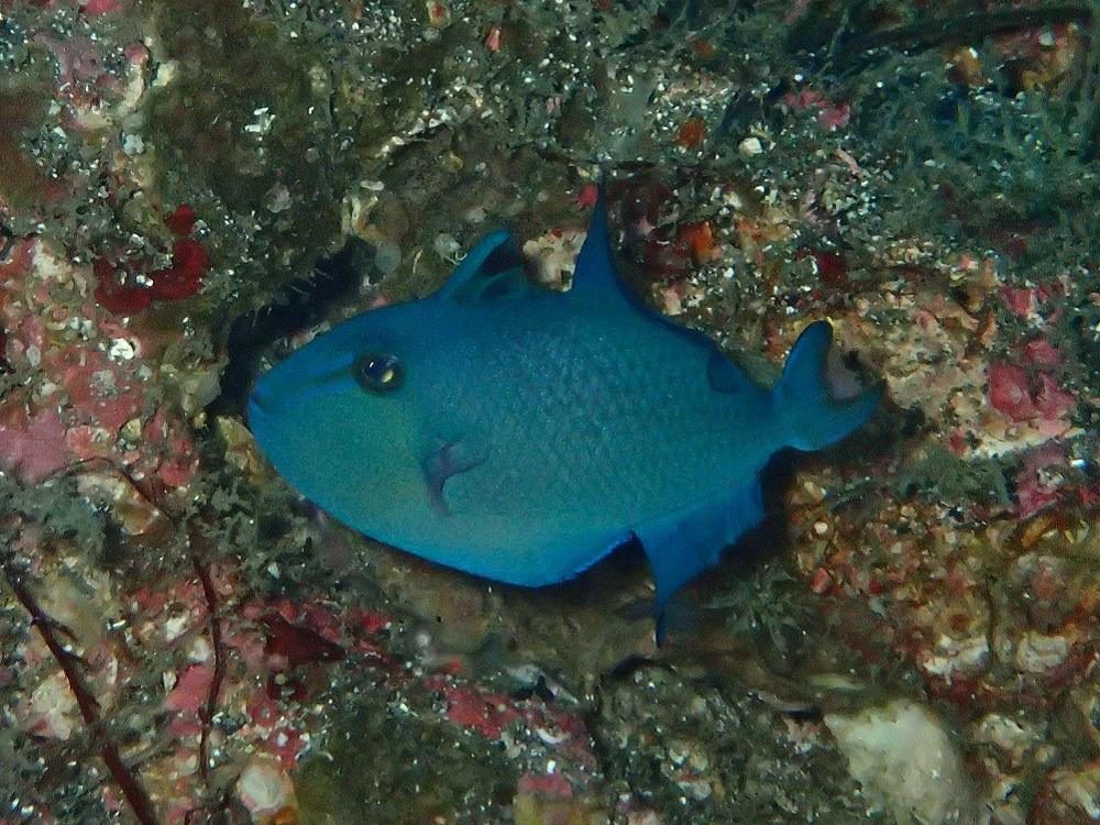 アカモンガラ幼魚