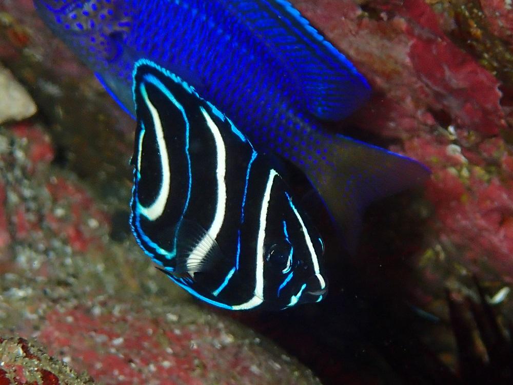 成長したサザナミヤッコ幼魚