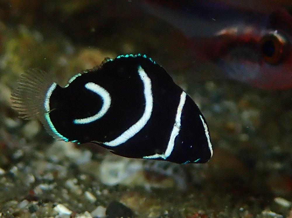 極小サザナミヤッコ幼魚