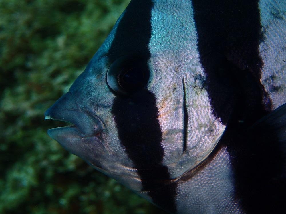 イシダイ幼魚