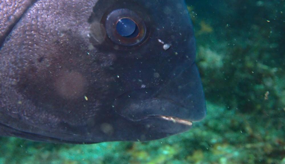 イシダイ成魚
