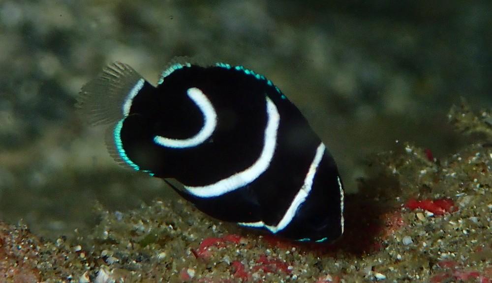 成長を続けるサザナミヤッコ幼魚