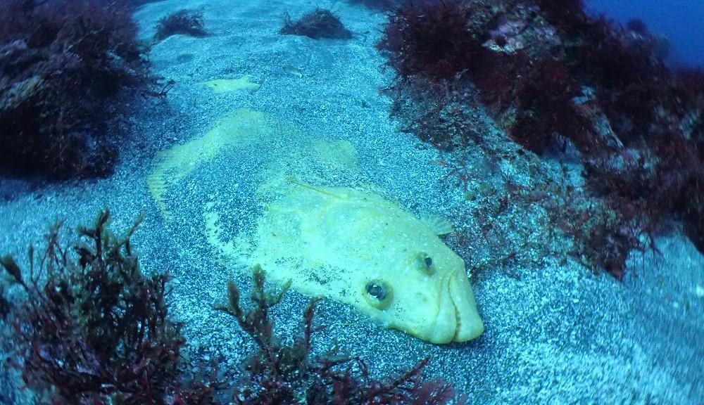 黄金ヒラメ
