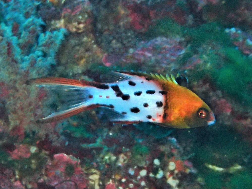 ヒドウシベラ幼魚