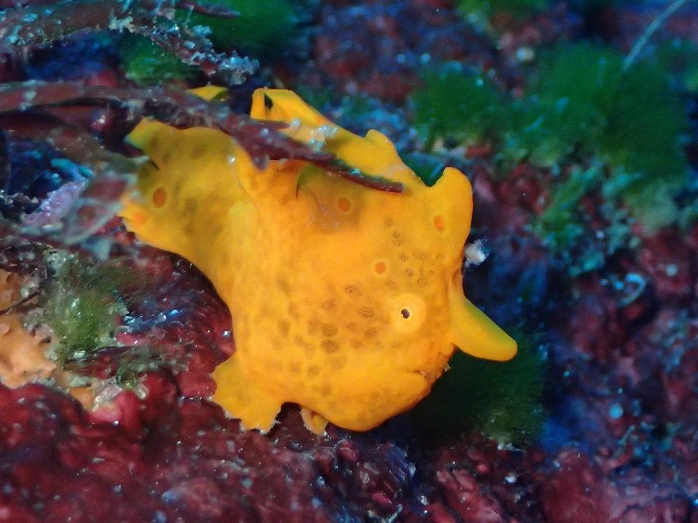 イロカエルアンコウ幼魚(オレンジ)