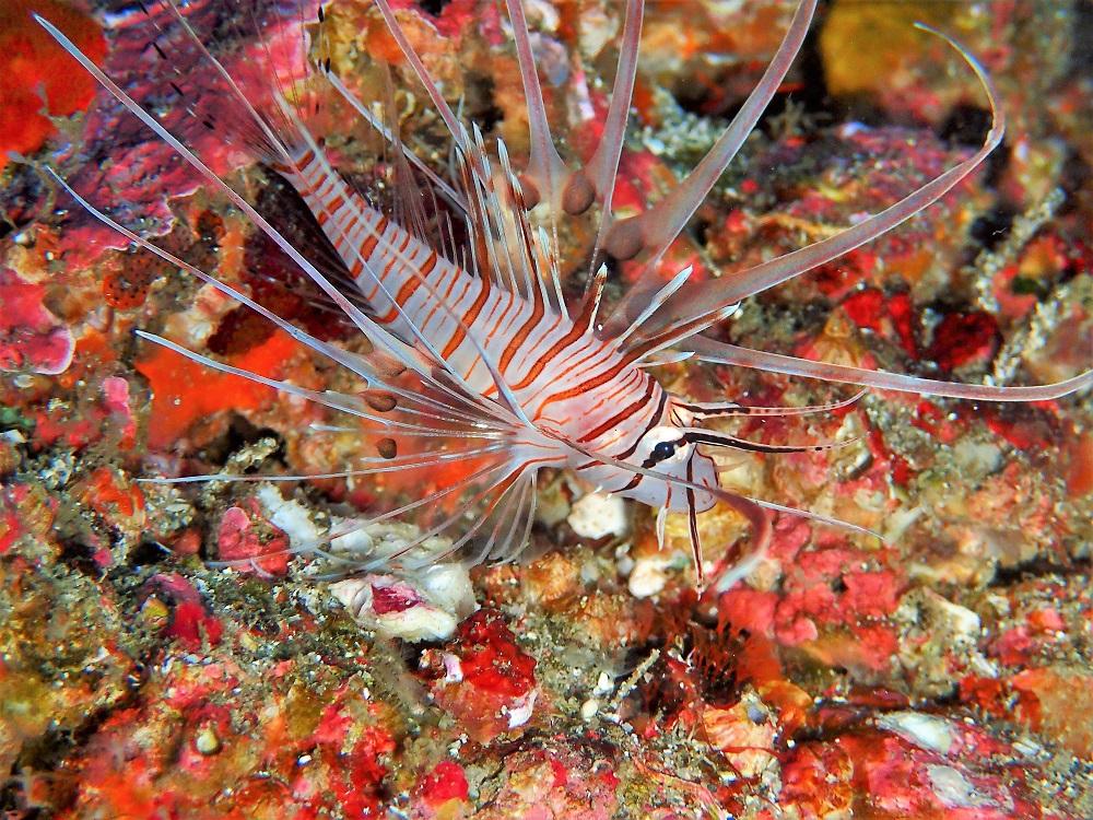 ミノカサゴ幼魚