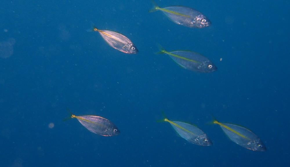シマアジ幼魚群れが回遊