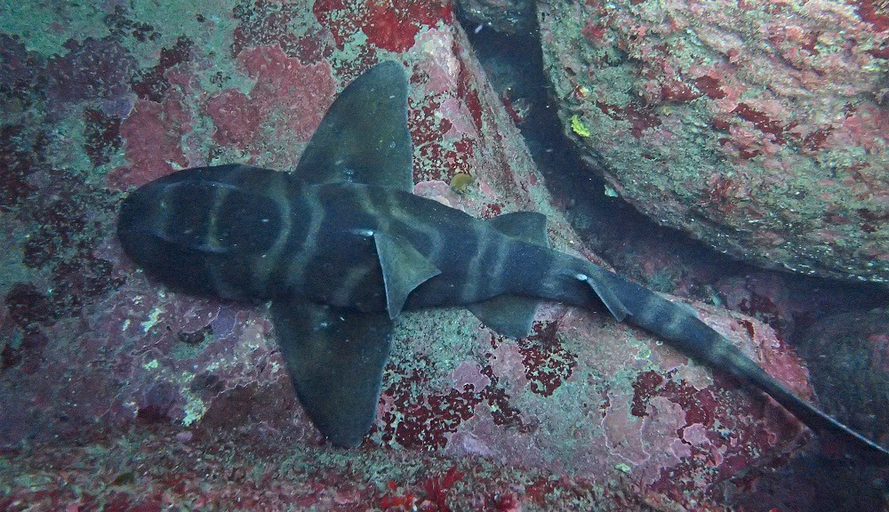 カケアガリにて大きなネコザメ