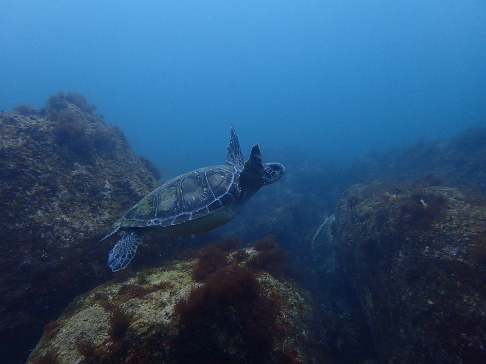 高確率で見られる小ウミガメ