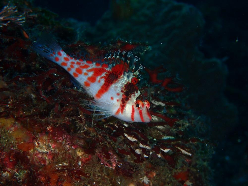 死滅回遊魚サラサゴンべ
