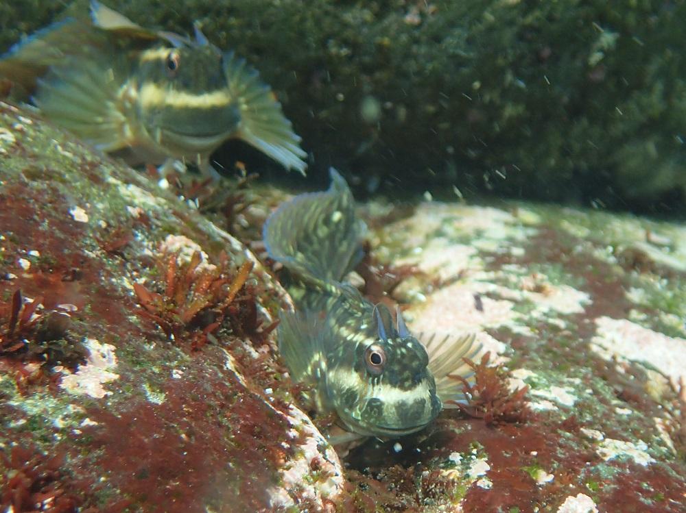足がつく超浅場で見られるカエルウオ