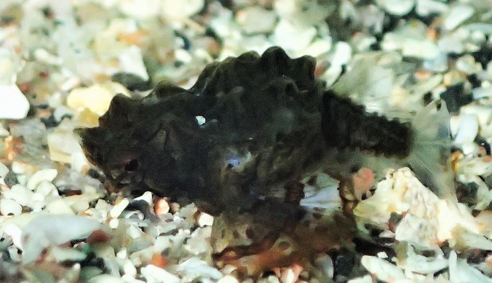 小さなウミテング幼魚