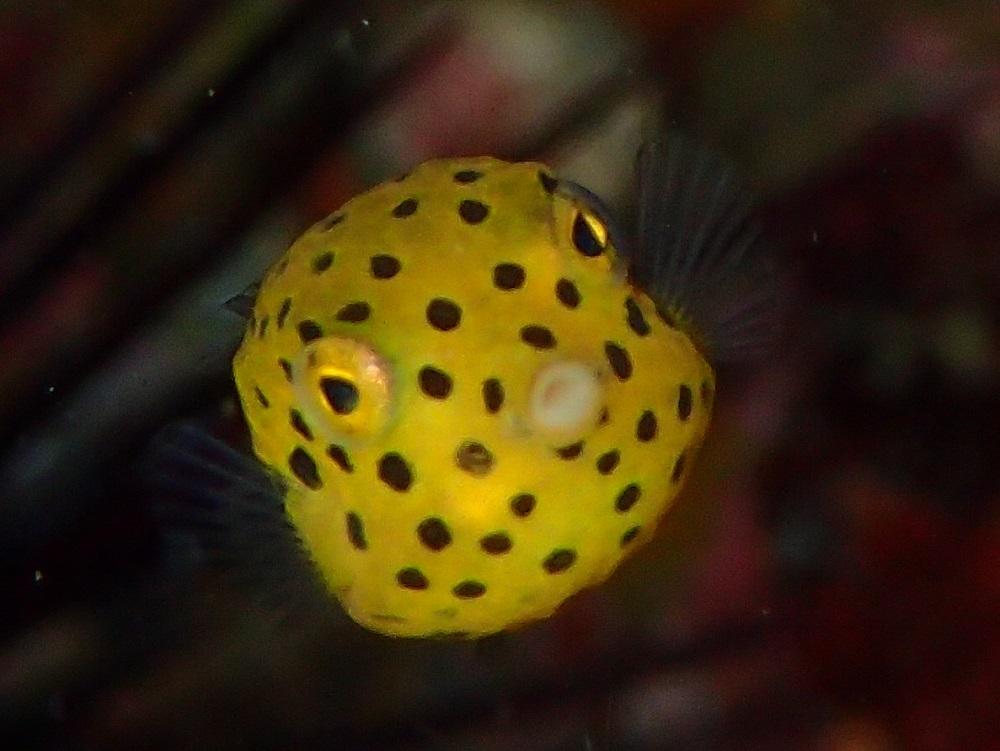 体長1cmミナミハコフグ幼魚