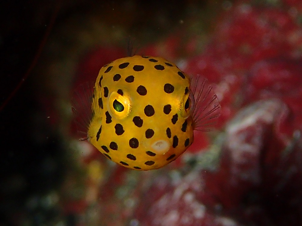 メジャーなミナミハコフグ幼魚