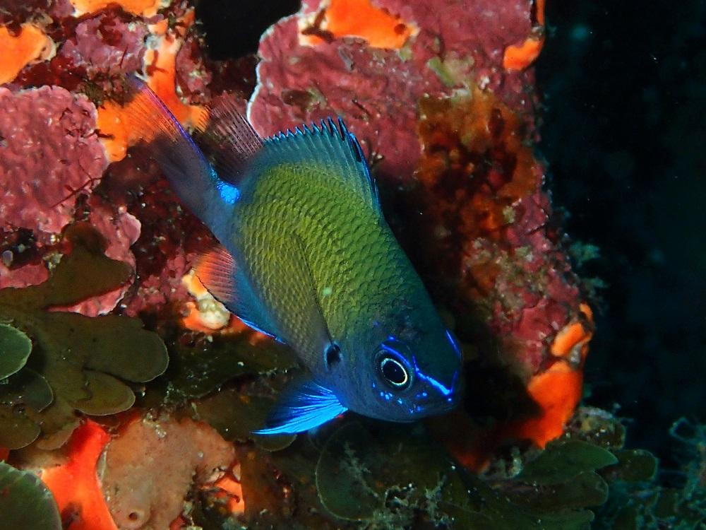 今年は個体数多いアマミスズメダイ幼魚