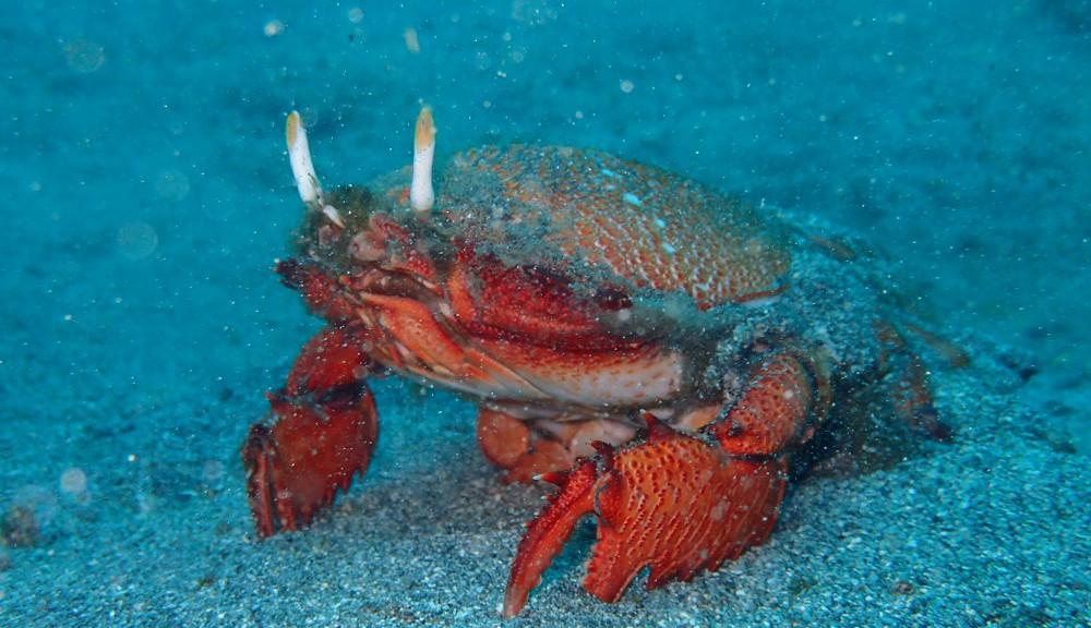 食用蟹アサヒガニ