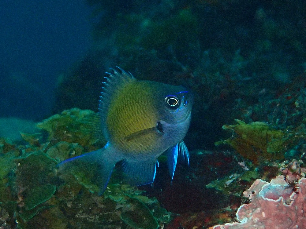今日は元気いっぱいヒレ全開のアマミスズメダイ幼魚