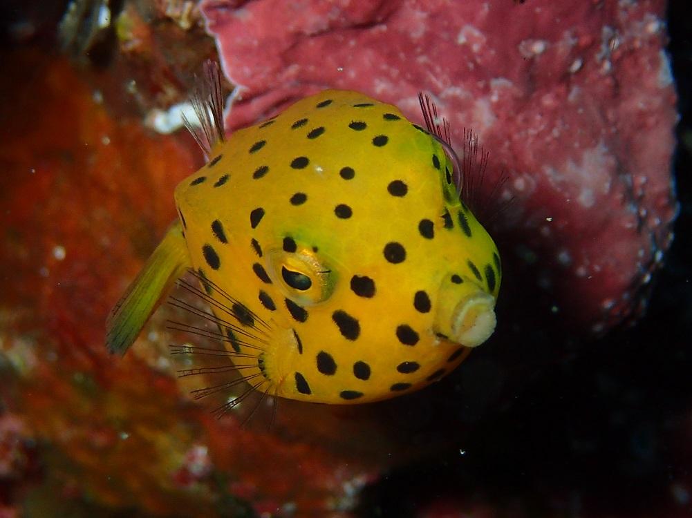大小大きさも様々ミナミハコフグ幼魚
