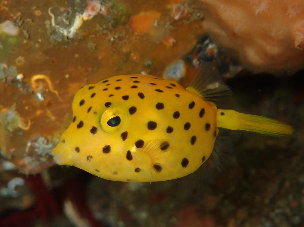 浅場にミナミハコフグ幼魚