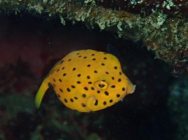ミナミハコフグ幼魚・写真提供、芦田様