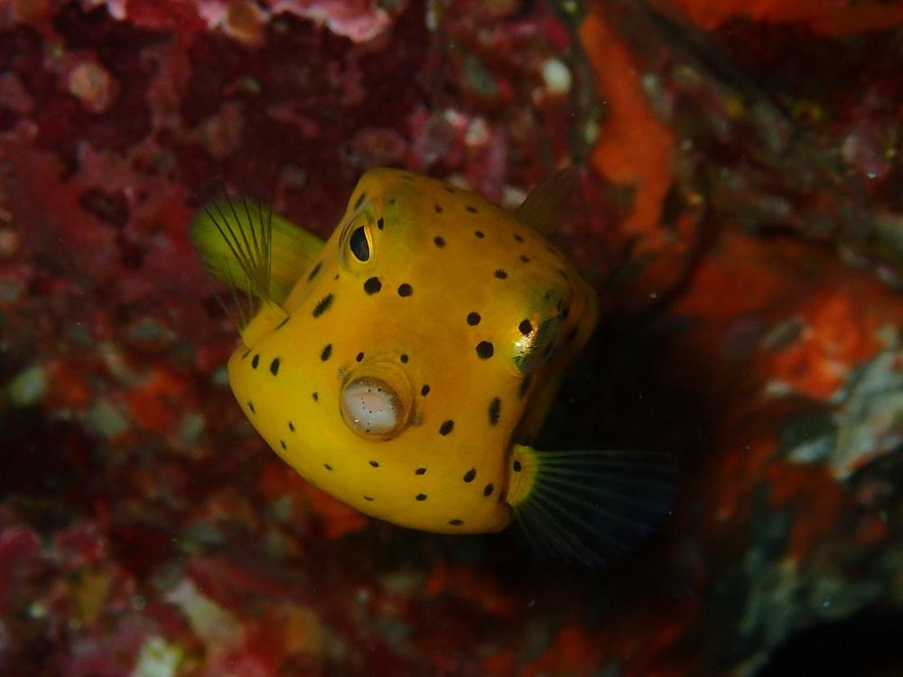 大きく成長したミナミハコフグ幼魚