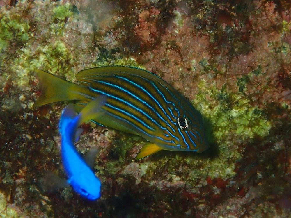 鮮やかな体色ニジハギ幼魚