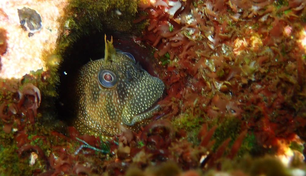 巣穴から顔を出すホシギンポ
