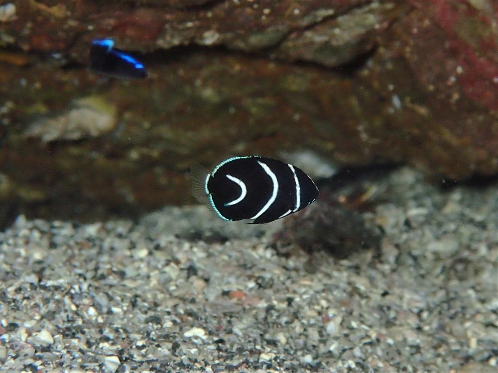 極小・サザナミヤッコ幼魚