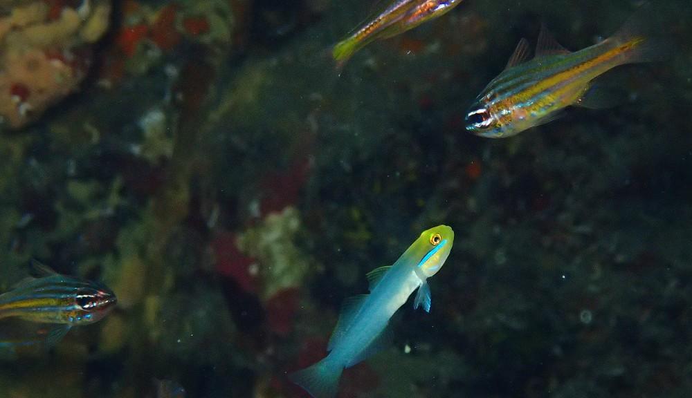 キンセンイシモチの群れに交じってアカハチハゼ幼魚