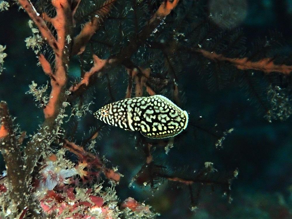 クロフチススキベラ幼魚