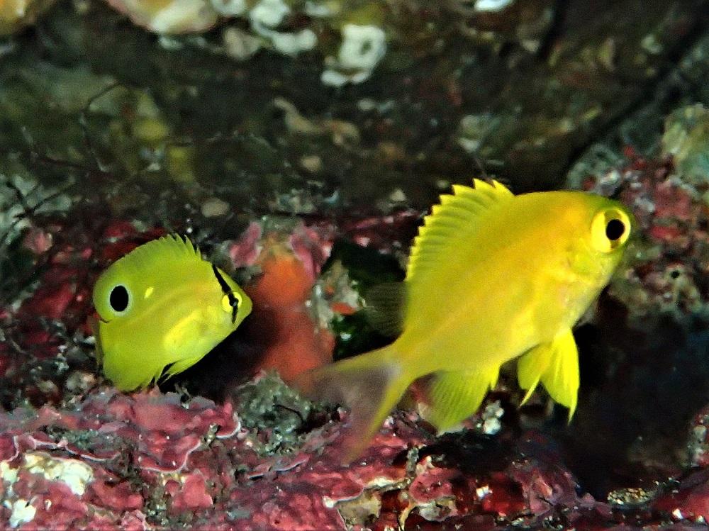 左・シテンヤッコ幼魚、右・コガネスズメダイ