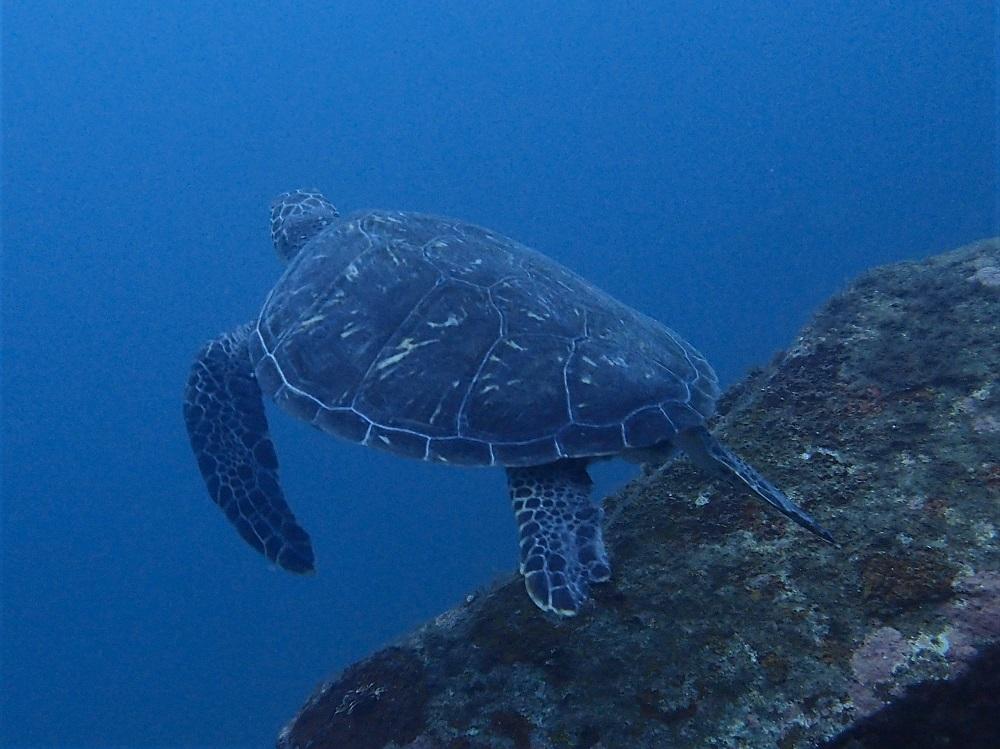 伊豆海洋公園ブリマチの根で観察できている子ウミガメ