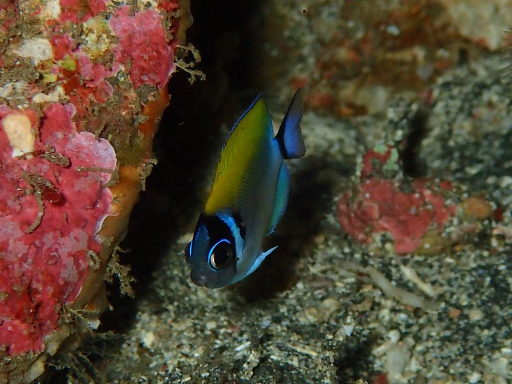 伊豆海洋公園で見られている小さなトサヤッコ幼魚