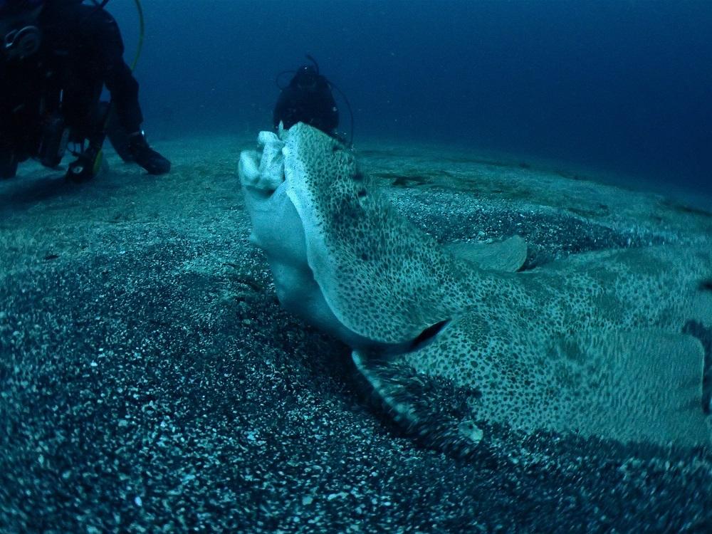 伊豆海洋公園・砂地にてカスザメ