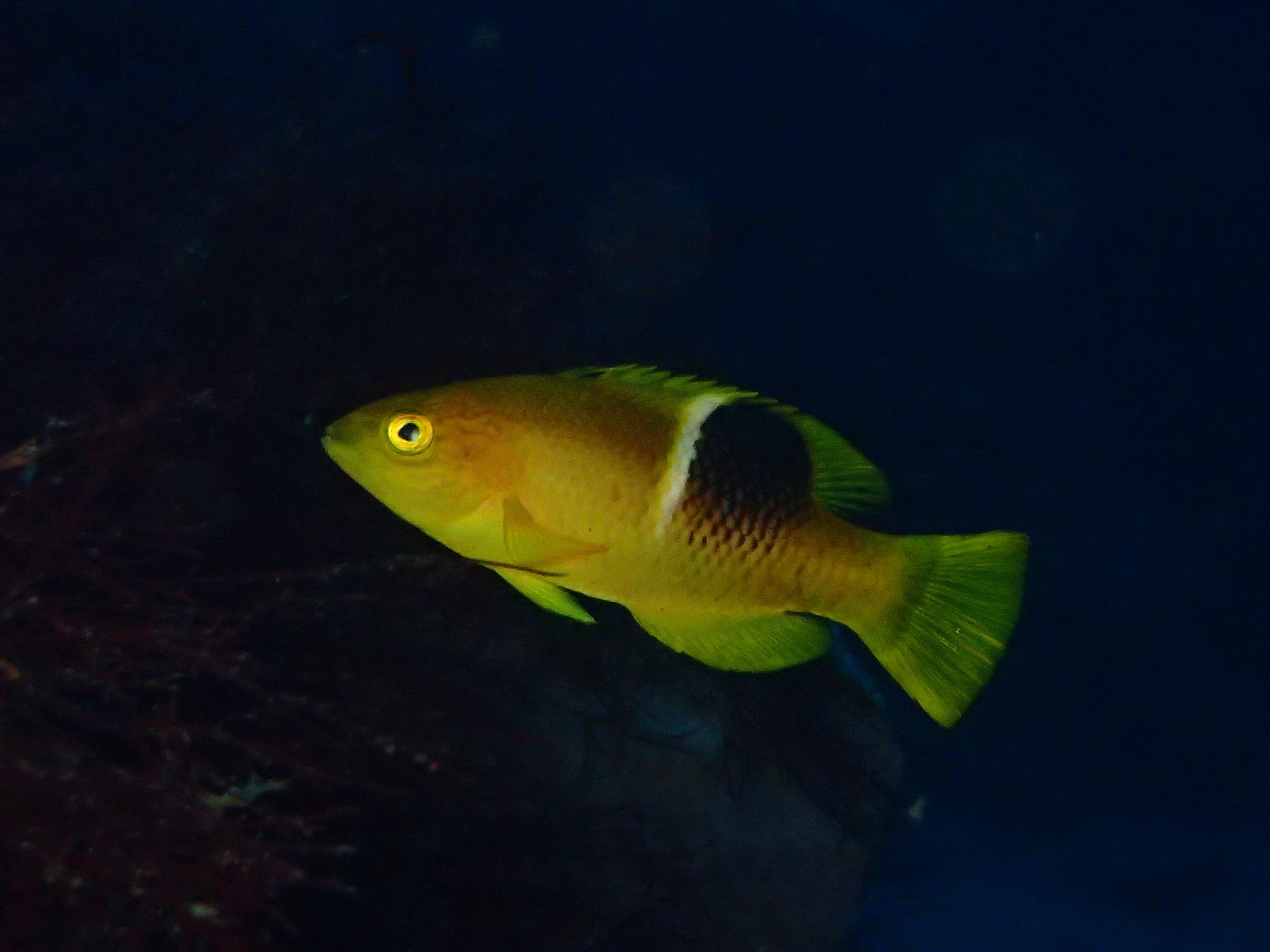 伊豆海洋公園・死滅回遊魚、タキベラ幼魚