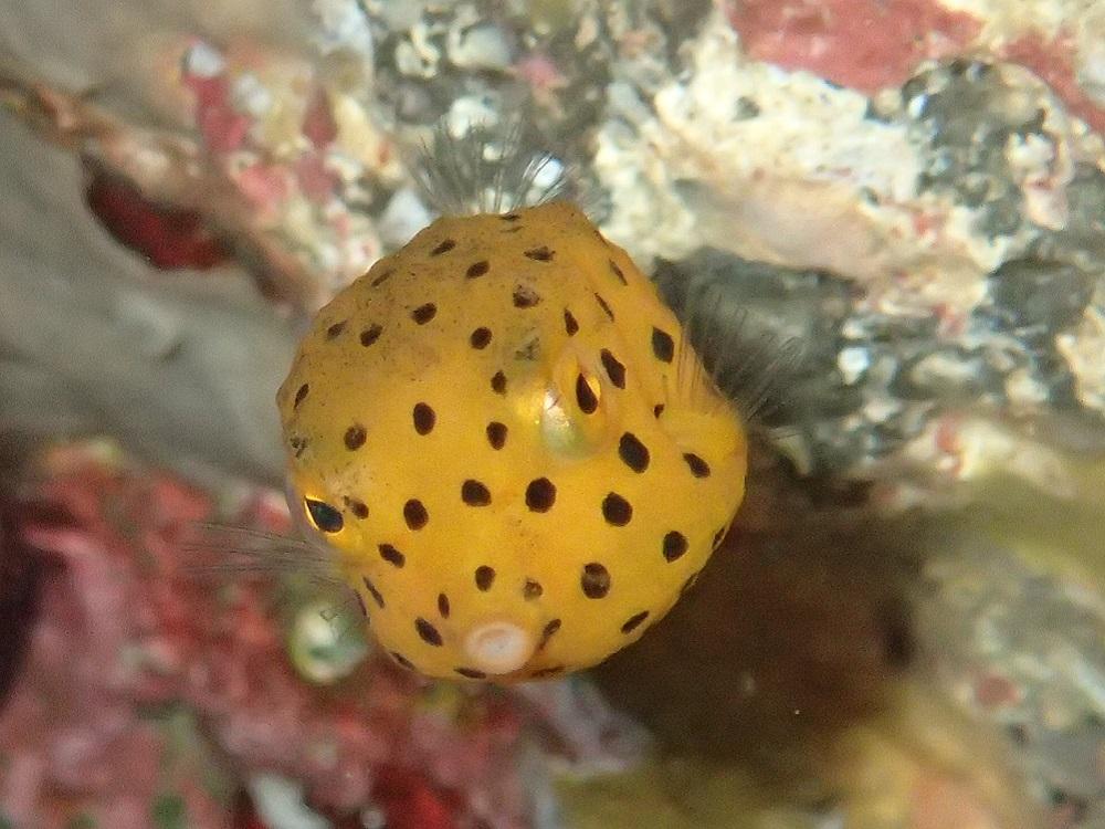やっぱり可愛い!ミナミハコフグ幼魚