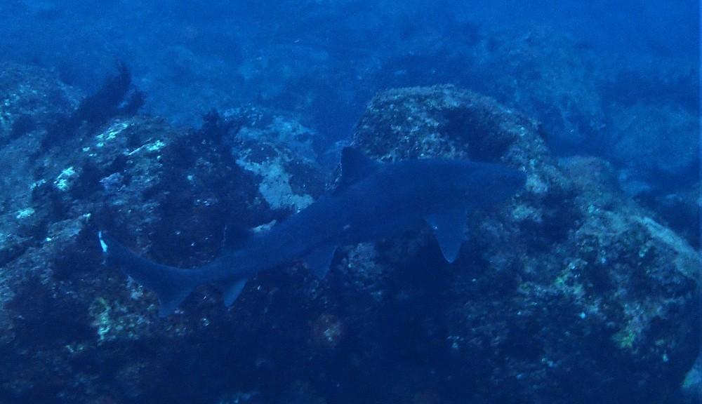 伊豆海洋公園。送り出し入り江に入り込んだドチザメ
