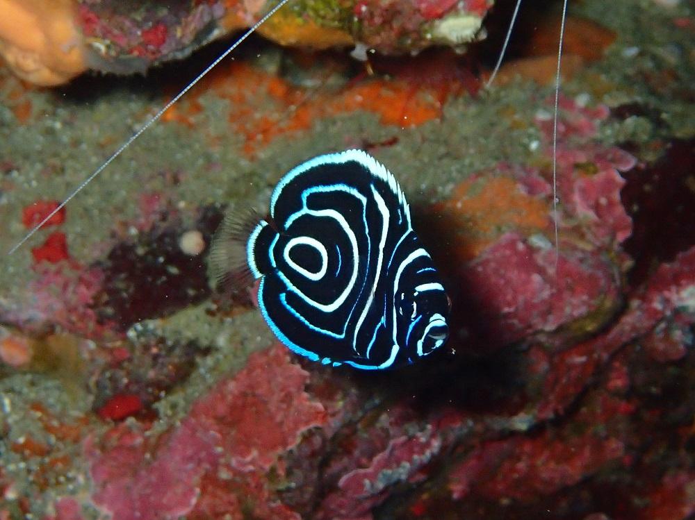 まだ成長中・タテジマキンチャクダイ幼魚