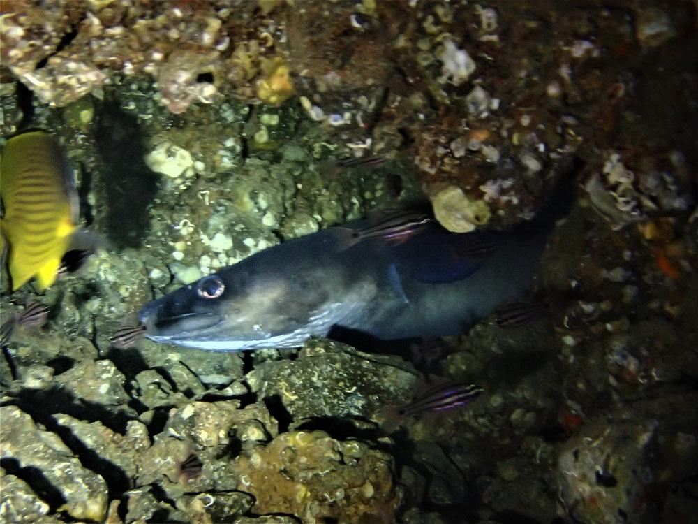 クエ穴に住み着く巨大クロアナゴ