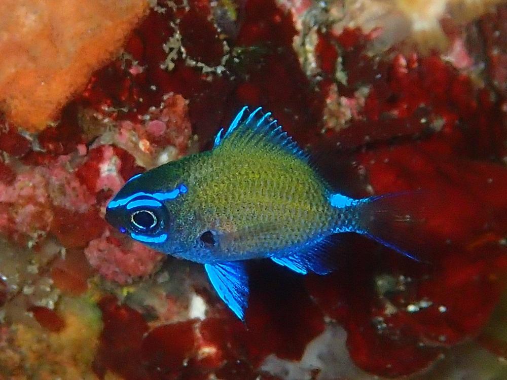 光り輝くアマミスズメダイ幼魚