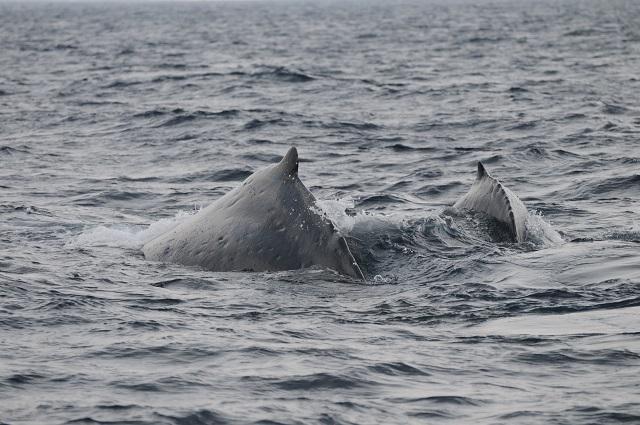 親子クジラ2頭で並走