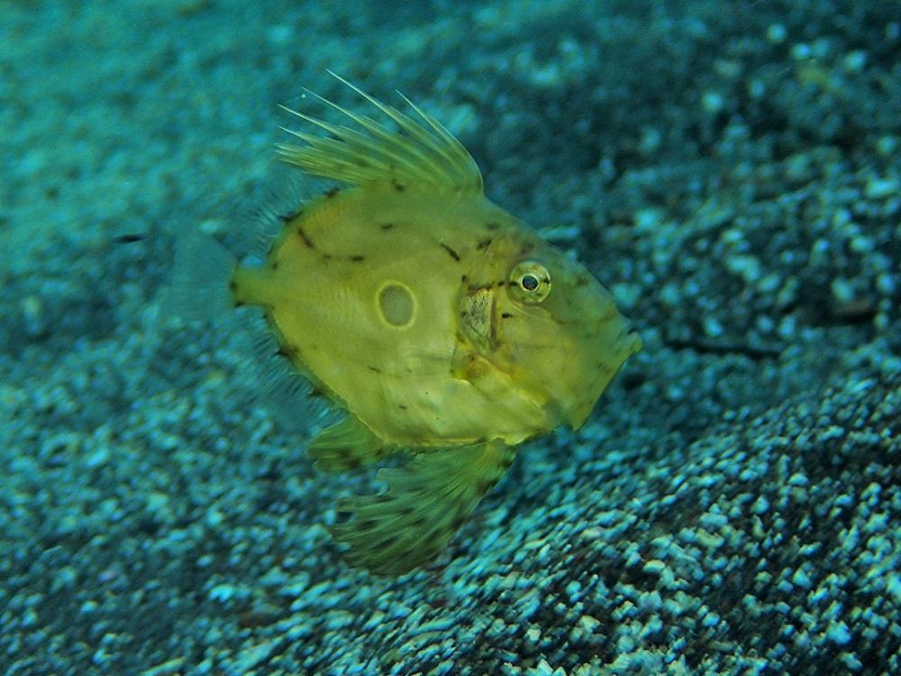 とにかくキュート・マトウダイ幼魚