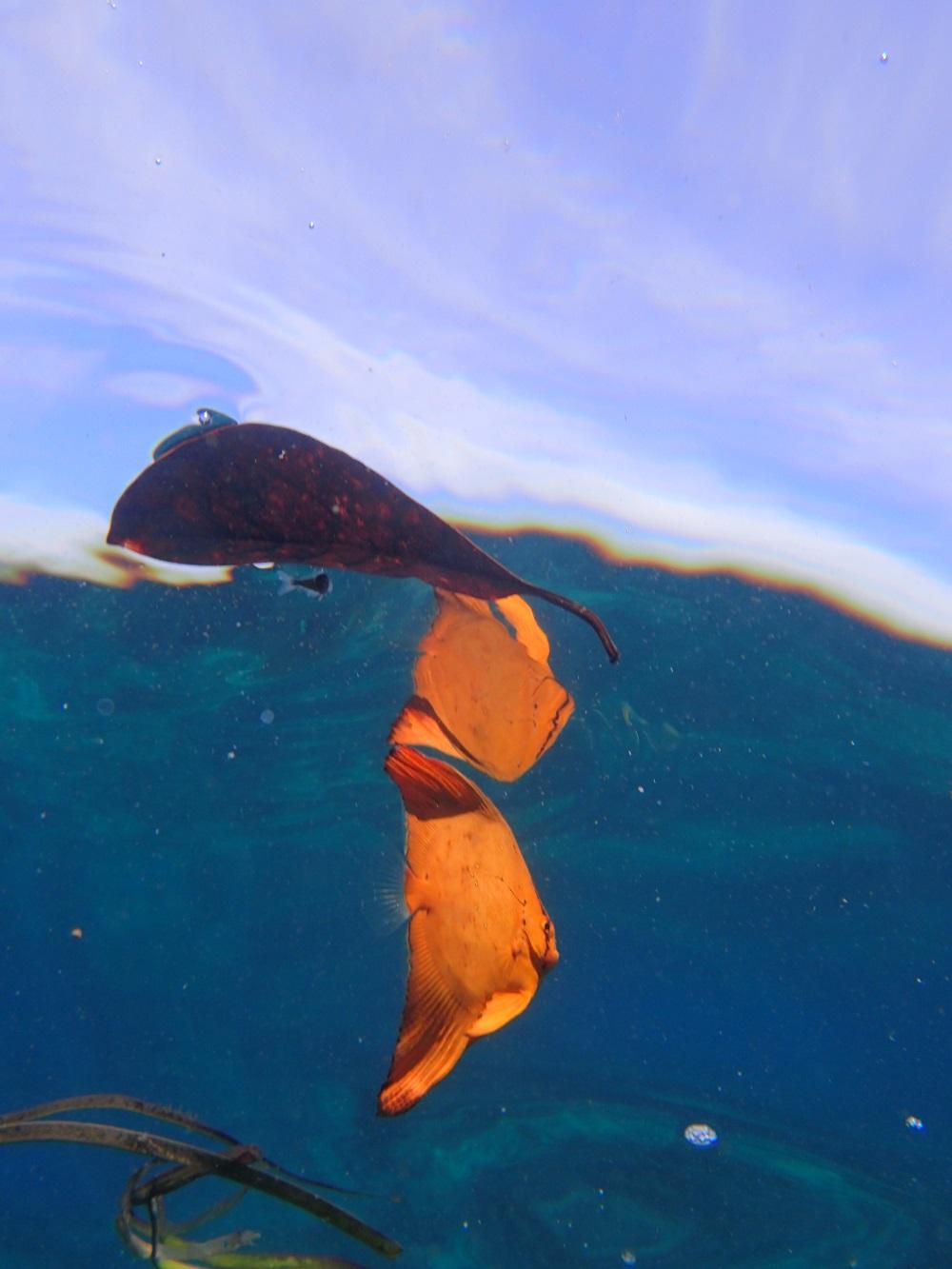 水面に映るナンヨウツバメウオ幼魚